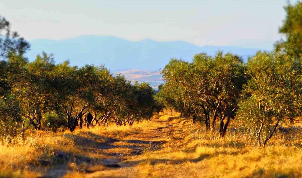 Olive field in Spain
