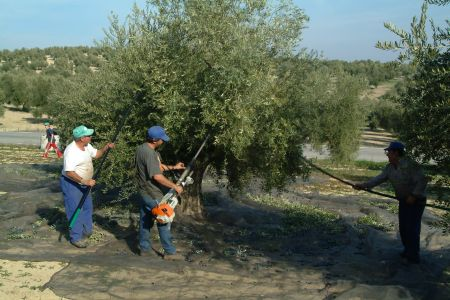 Men tending an olive tree field