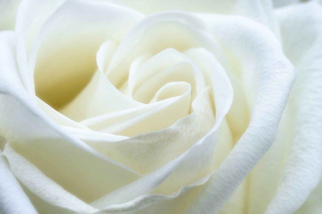 Close-up photo of a white rose