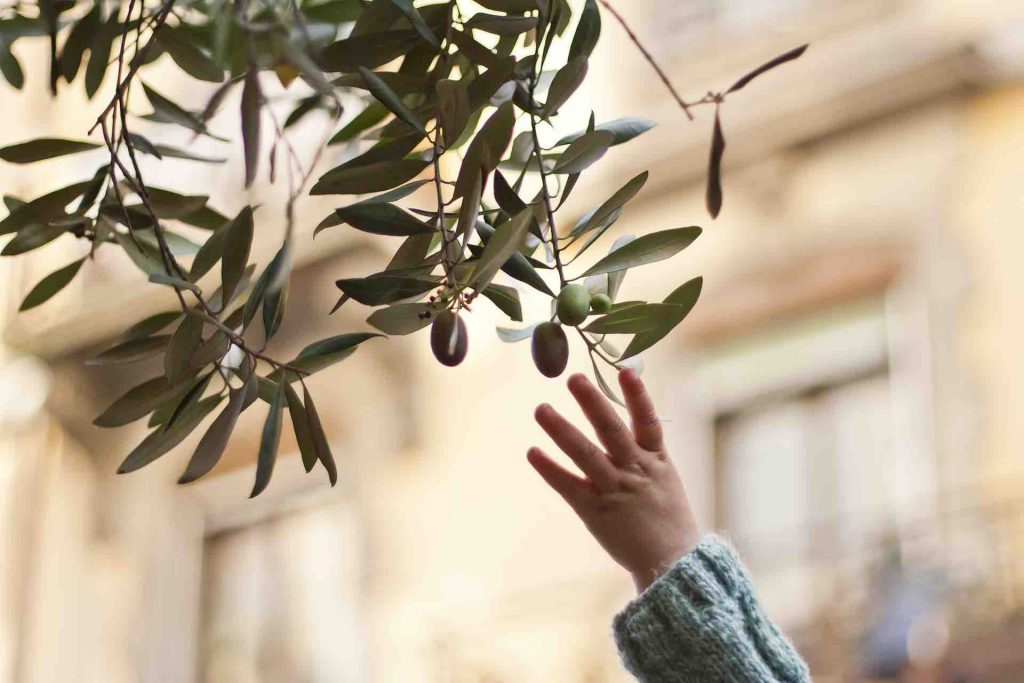 Child reaching for Spanish olives on a tree